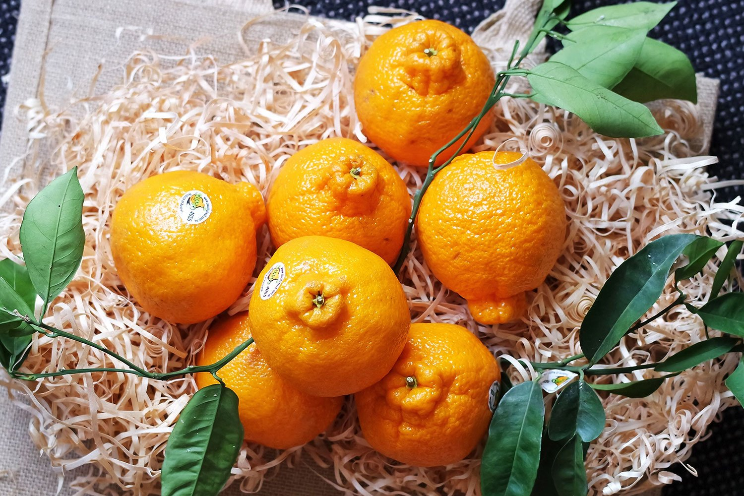7 plump sumo mandarins are laid upon a bed of wood shavings, adorned with branches from the tree they were harvested off